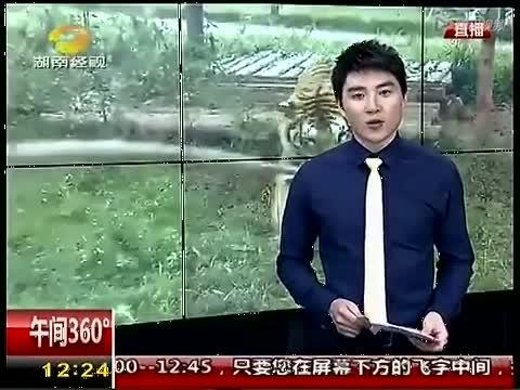 监控记录南昌动物园华南虎产仔全过程
